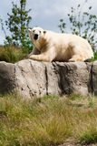 Polar bear on a green meadow Stock Photos