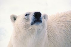 Polar bear head Stock Images