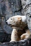 Polar bear head Stock Photo