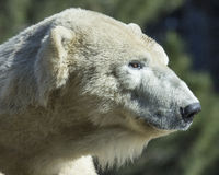 Polar Bear Royalty Free Stock Photo