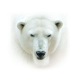 Polar bear head isolated on white background. High key Stock Photo
