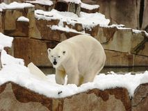 Polar bear after heavy snow fall at Milwaukee Zoo Royalty Free Stock Images