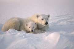Polar bear with her cub Stock Images