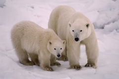 Polar bear with her cub. Of the year. Canadian Arctic stock photography