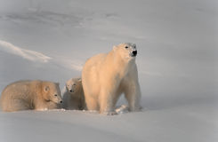 Polar bear with her cubs. Polar bear and cubs in high Arctic winds Royalty Free Stock Photo