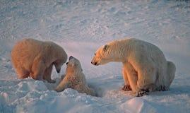 Polar bear with her cubs. Polar bear family in Canadian Arctic Stock Images