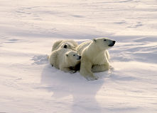 Polar bear with her cubs. Polar bear resting with her cubs. Canadian Arctic Royalty Free Stock Photo