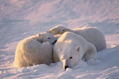 Polar bear with her cubs Royalty Free Stock Image