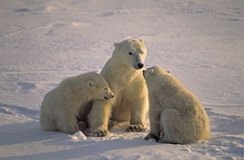 Polar bear with her cubs. Polar bear talking to her cubs. Canadian Arctic Stock Images