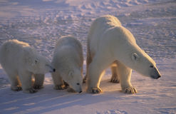 Polar bear with her cubs. Polar bear protecting her cubs against an approaching male bear. Canadian Arctic Royalty Free Stock Image