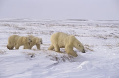 Polar bear with her cubs Royalty Free Stock Photo