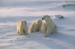 Polar bear with her cubs. Polar bear and cubs facing into a strong wind storm in the Canadian Arctic stock image