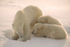 Polar bear with her cubs Royalty Free Stock Photography