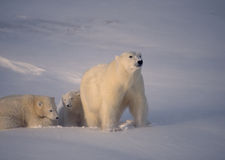 Polar bear with her cubs low cold Arctic sunlight). Polar bear with her cubs after fresh snowfall Royalty Free Stock Images