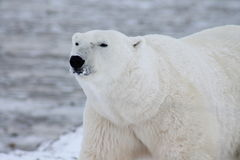Polar Bear Hudson Bay (9) Stock Images