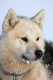 Polar-bear hunter sled dog with ice in its beard Stock Image