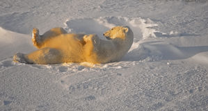 Polar bear i. Polar bear scratching his back by rolling in the snow. Canadian Arctic Royalty Free Stock Images