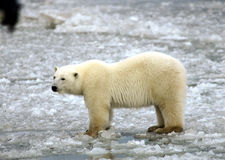 Polar Bear on Ice Stock Image