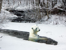Polar bear in an ice Royalty Free Stock Photography