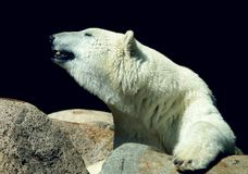 Polar bear. Ice bear Royalty Free Stock Photos