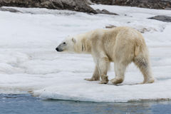 A polar bear on the ice coast archipelago of Svalbard Stock Photo
