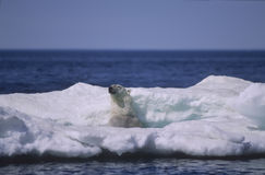 Polar bear in ice floe. Polar bear in middle of shrinking ice floe Royalty Free Stock Photos