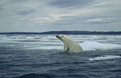 Polar bear on ice floe in Canadian Arctic. Polar bear climbing from swimming in the sea onto ice floe Royalty Free Stock Image
