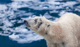 Polar bear on an ice floe Stock Image