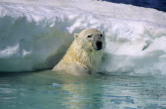 Polar bear in ice flow. Polar bear in sea against ice flow.Canadian Arctic Stock Photo