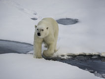 Polar Bear On Ice. Polar bear moving along the sea ice, Arctic ocean north of Svalbard, Norway Stock Image
