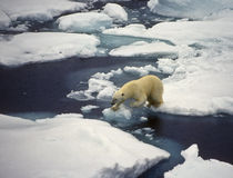 Polar Bear on Ice, Svalbard stock images