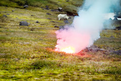 Polar bear attacked photographer. Polar bear (ice bear, Ursus maritimus) attacked photographer. Female never seen people and protects cub. Rocket fired into Royalty Free Stock Photography