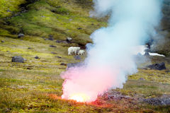 Polar bear attacked photographer. Polar bear (ice bear, Ursus maritimus) attacked photographer. Female never seen people and protects cub. Rocket fired into Royalty Free Stock Image