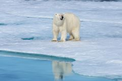 Polar bear on the ice stock photos