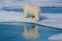 Polar bear on the ice. Polar bear Ursus maritimus on the pack  ice north of Spitsbergen Island, Svalbard, Norway Royalty Free Stock Photography