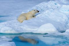 Polar bear on the ice stock photo