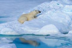 Polar bear on the ice. Polar bear Ursus maritimus on the pack  ice north of Spitsbergen Island, Svalbard, Norway Stock Photo