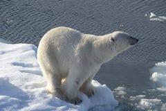 Polar bear on the ice. Polar bear walking on the ice in arctic landscape sniffing around Stock Photo