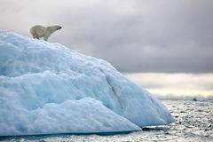 Polar bear on iceberg. Polar bear in natural environment stock images