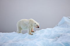 Polar bear on iceberg Stock Image