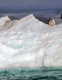 Polar bear on iceberg Stock Images