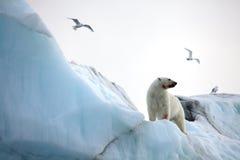 Polar bear on iceberg and rare ivory gulls Stock Photo