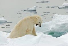 Polar Bear, IJsbeer, Ursus maritimus. Polar Bear adult man yawning;IJsbeer volwassen man gapend royalty free stock image