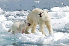 Polar Bear, IJsbeer, Ursus maritimus. Polar Bear adult with two young on piece of ice in water; IJsbeer volwassen met twee jongen op ijsschots in water royalty free stock photos