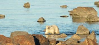 Free Polar Bear In The Ocean 1 Royalty Free Stock Photo - 34353165