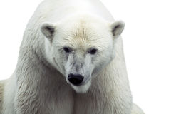 Polar bear isolated Stock Photography