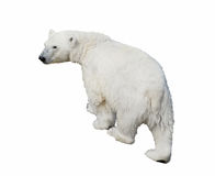 Polar bear Royalty Free Stock Photography