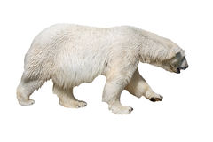 Polar bear isolated on white Royalty Free Stock Photography