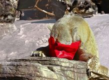 Polar Bear with its head in a red bag. In the snow Royalty Free Stock Images