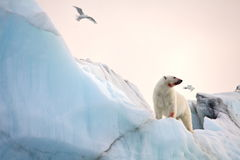 Polar bear and ivory gull Royalty Free Stock Images